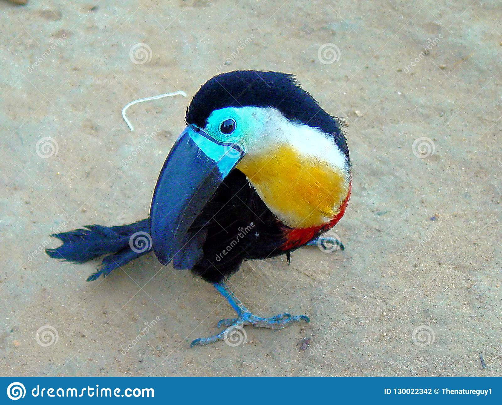Pet Channel-billed toucan in Native Amazonian Indian Village
