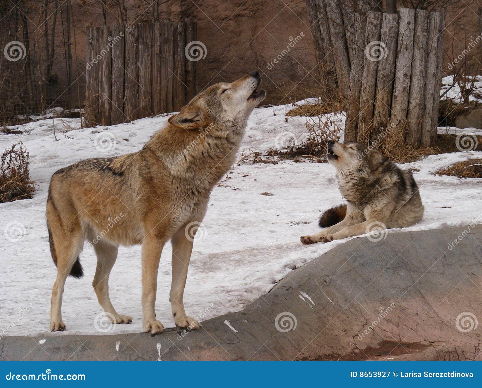 Chanson Wolfish