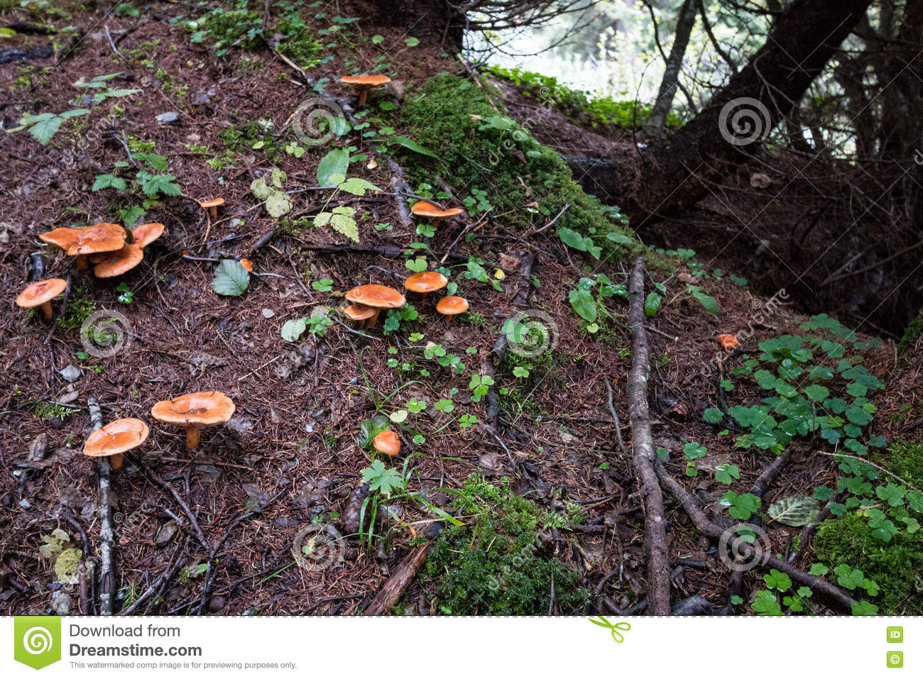 Chanterelle mushrooms in mountain forest