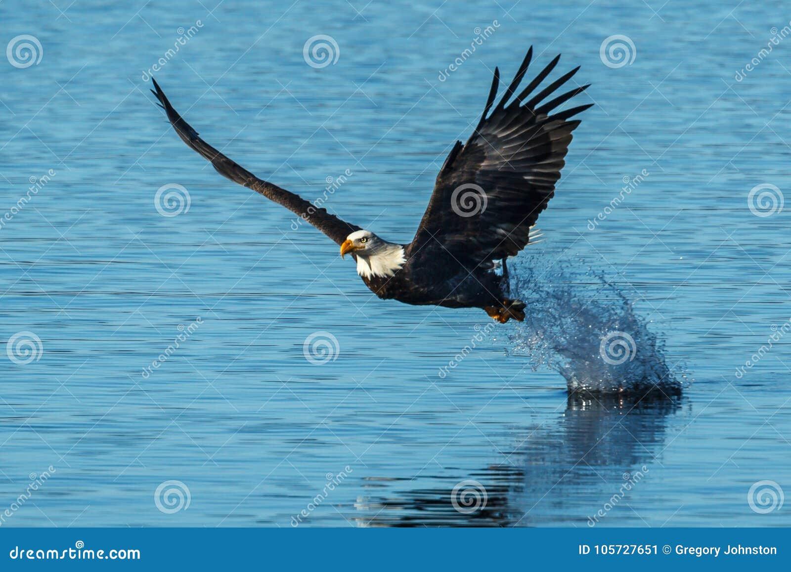 Chapoteo de las hojas de Eagle después del gancho agarrador de los pescados
