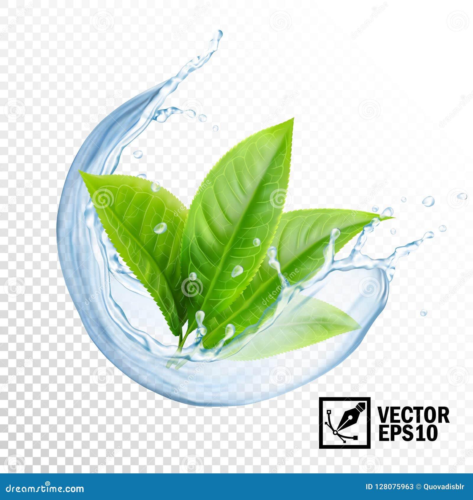 Chapoteo transparente realista del vector 3D del agua con las hojas del té o de la menta Malla hecha a mano Editable