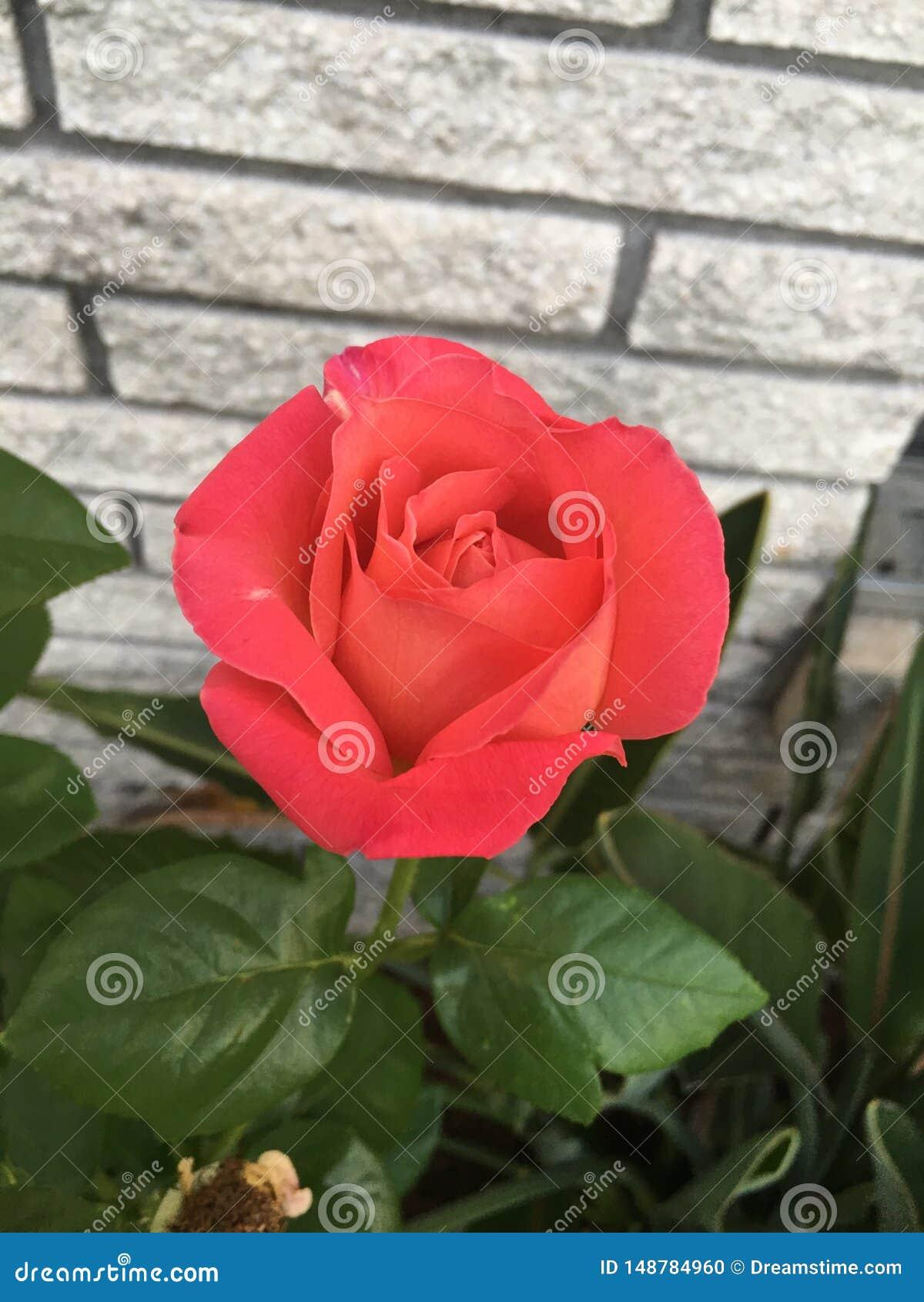 Chaque Rose a ses épines