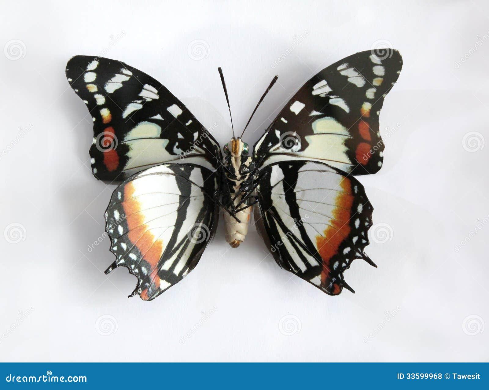Charaxes Superbus uma borboleta gigante bonita