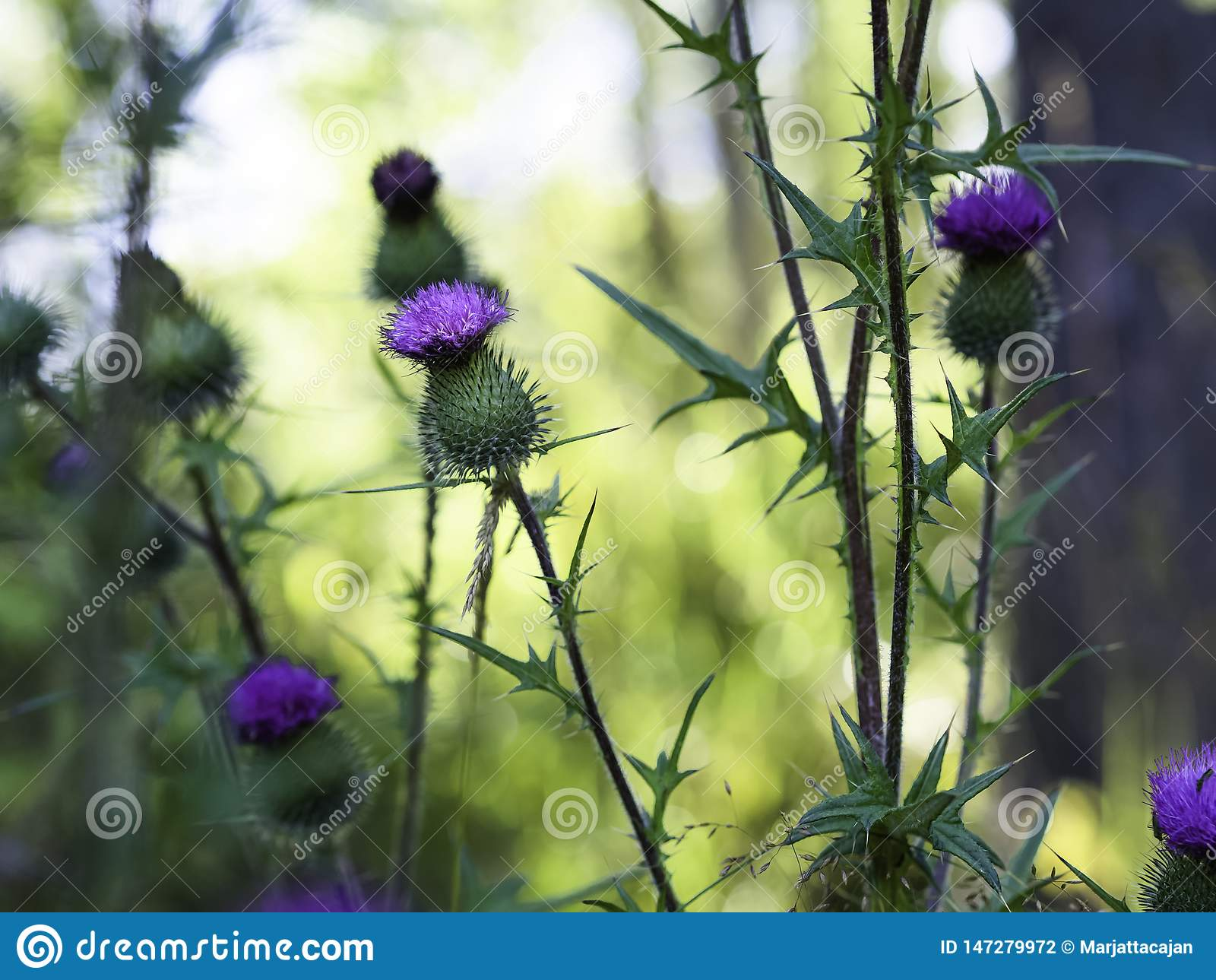 Chardon de lance - vulgare de Cirsium