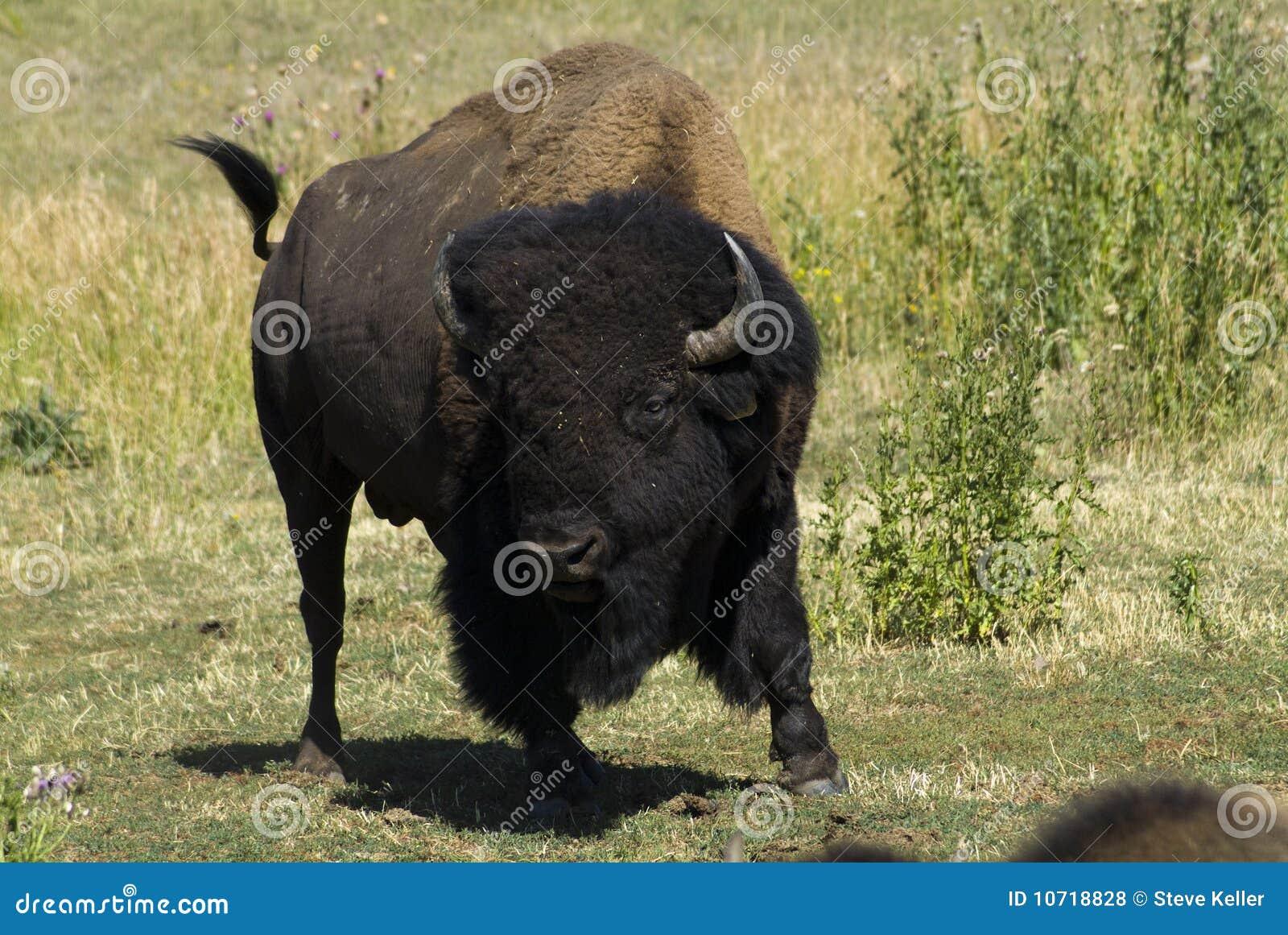 charging bison royalty free stock photos