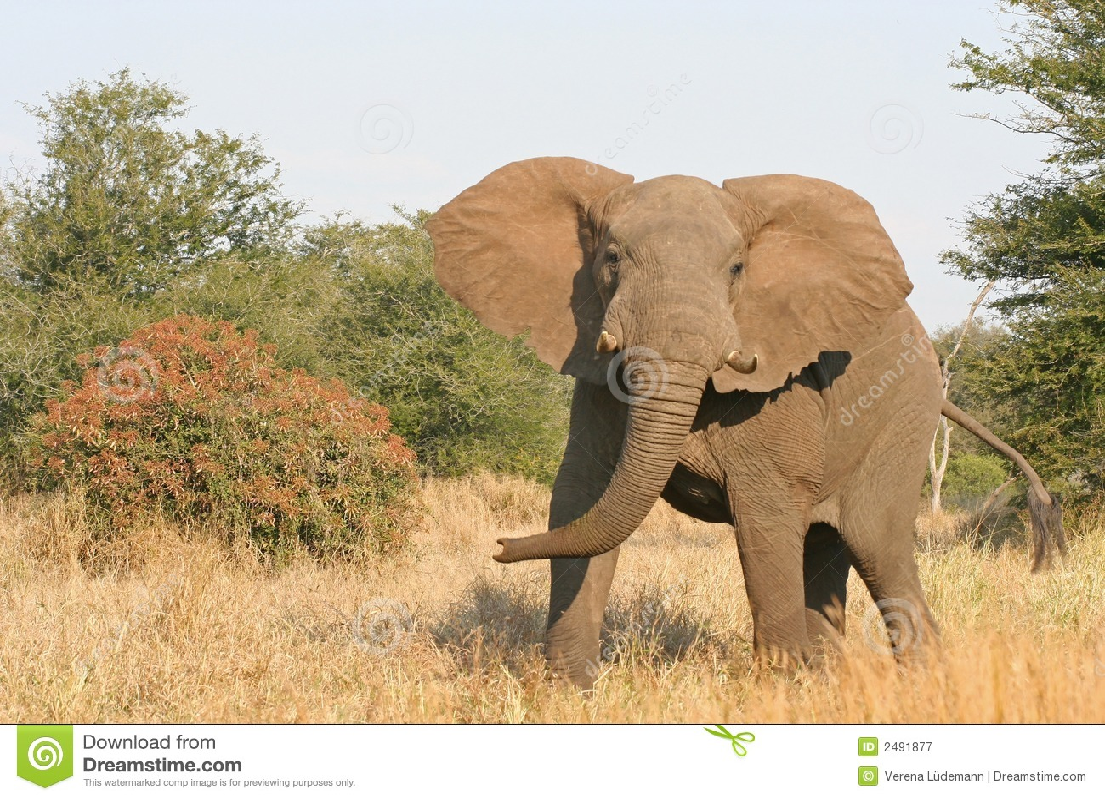 charging elephant stock image image of fauna bull