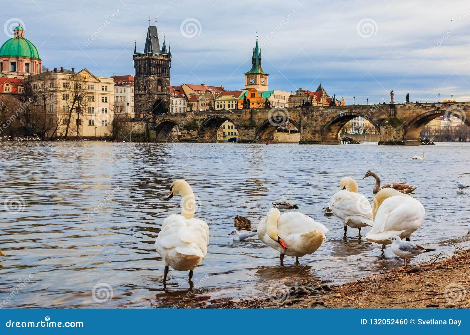 Charles bro och svanar på den Vltava floden i Prague tjeckiska Republi