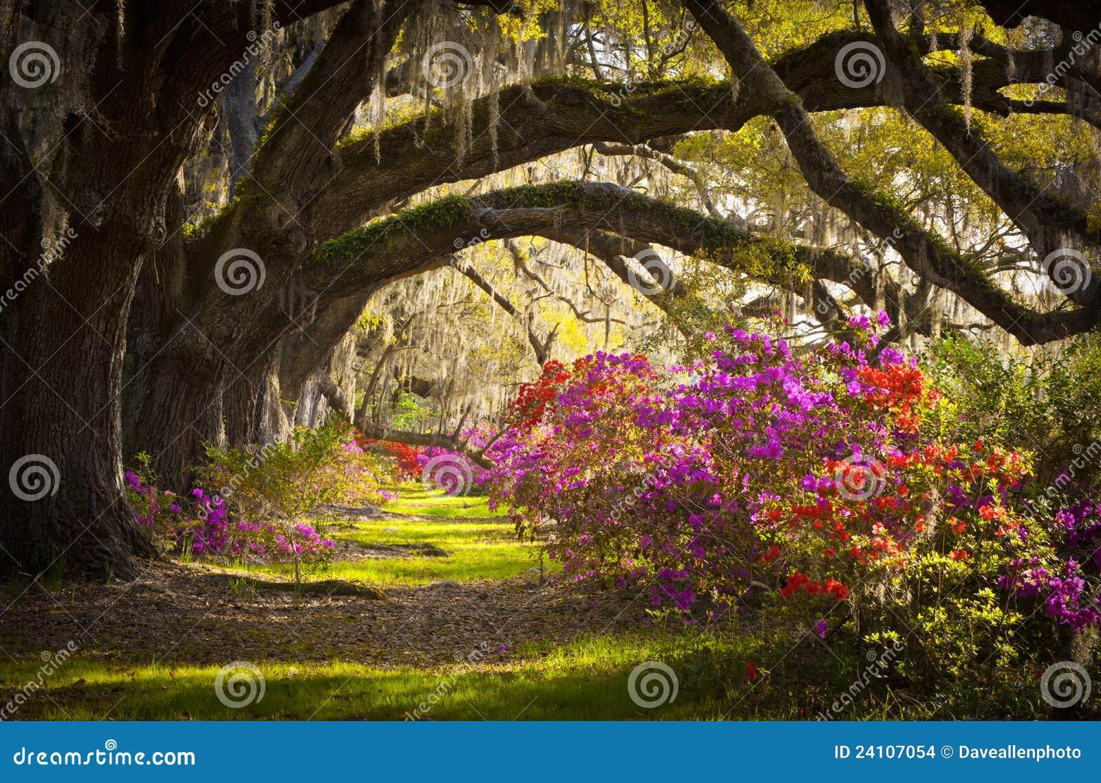 Charleston kwitnie mech dębowych plantaci sc drzewa