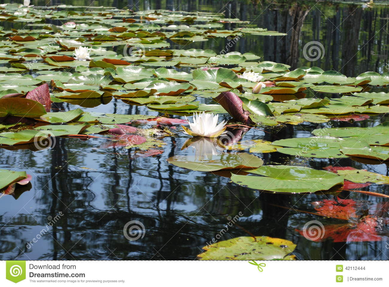 Charleston Sc Cypress Gardens Water Lilies Stock Photo Image Of