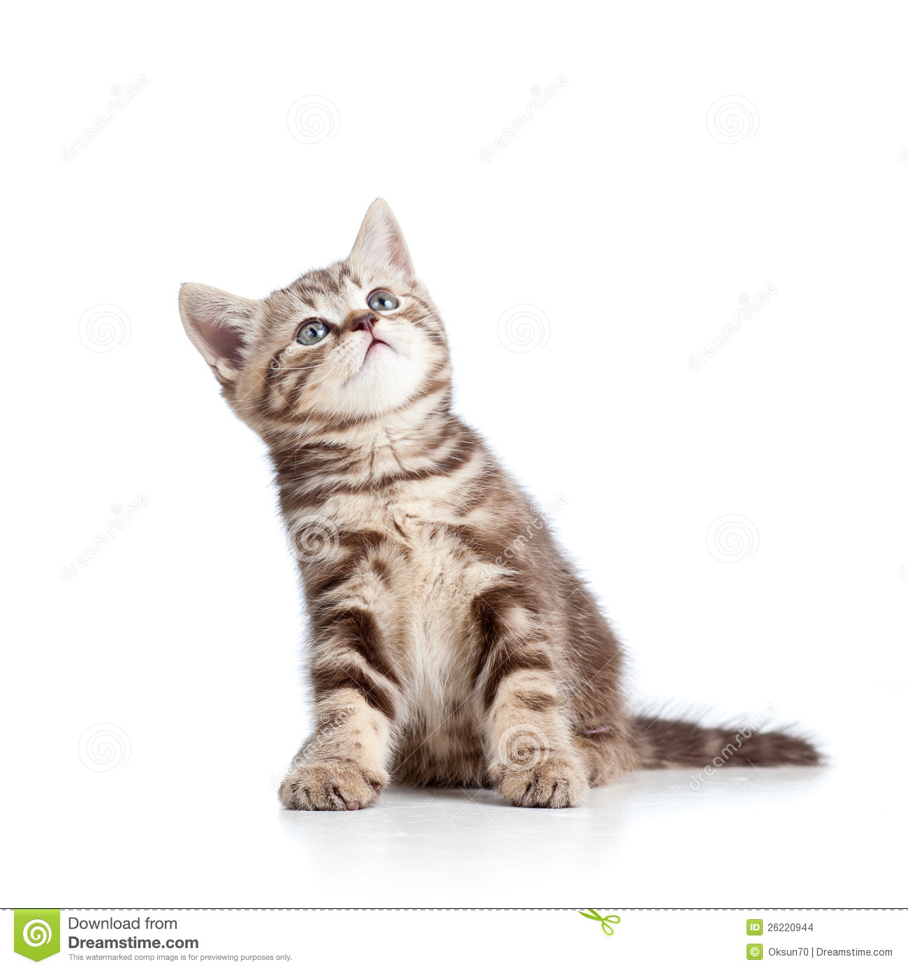 Charming Cat Kitten Looking Up Stock Photo Image Of Caucasian Pedigree 26220944