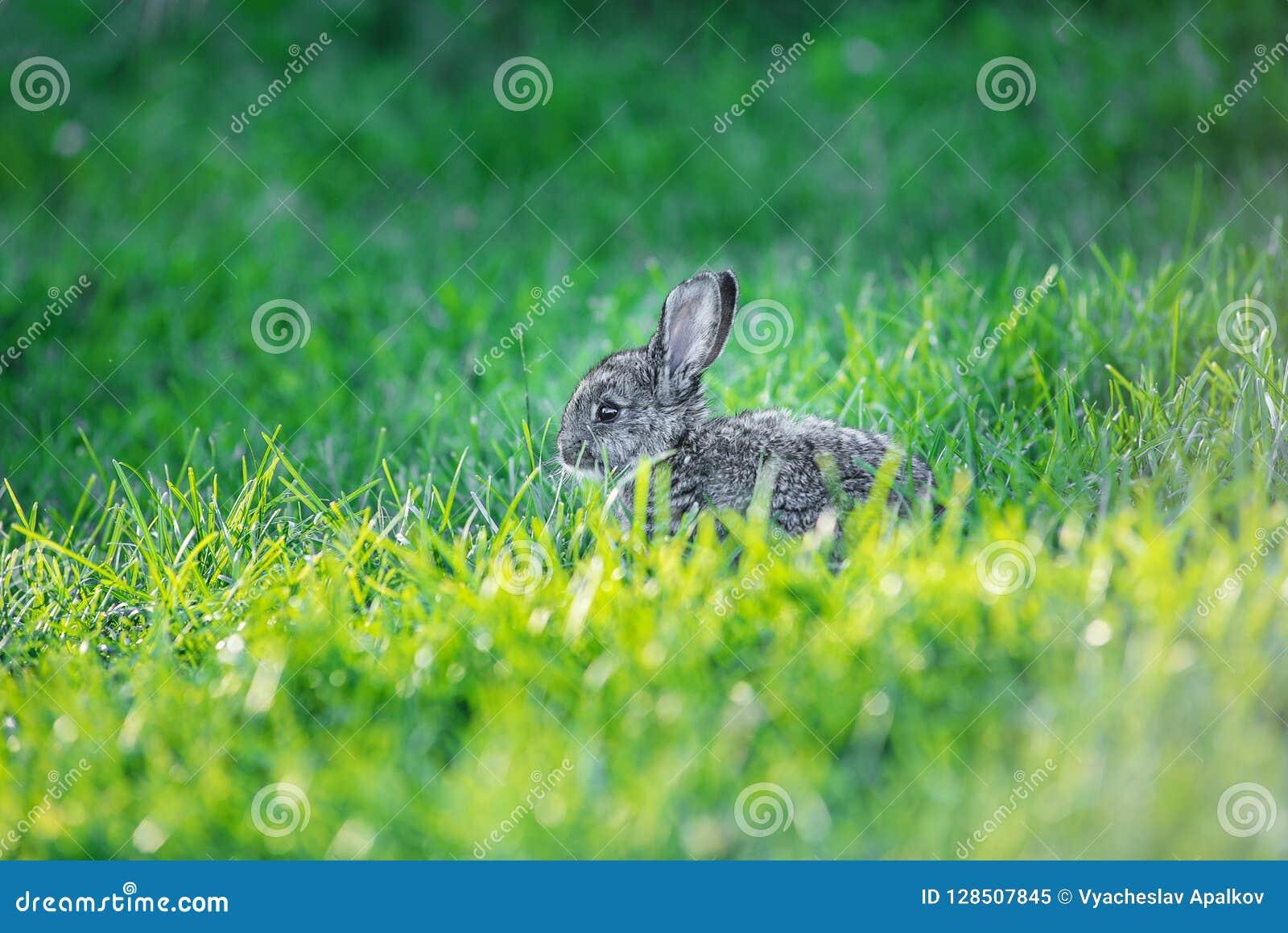 Charming grey bunny sitting in a fresh green grass