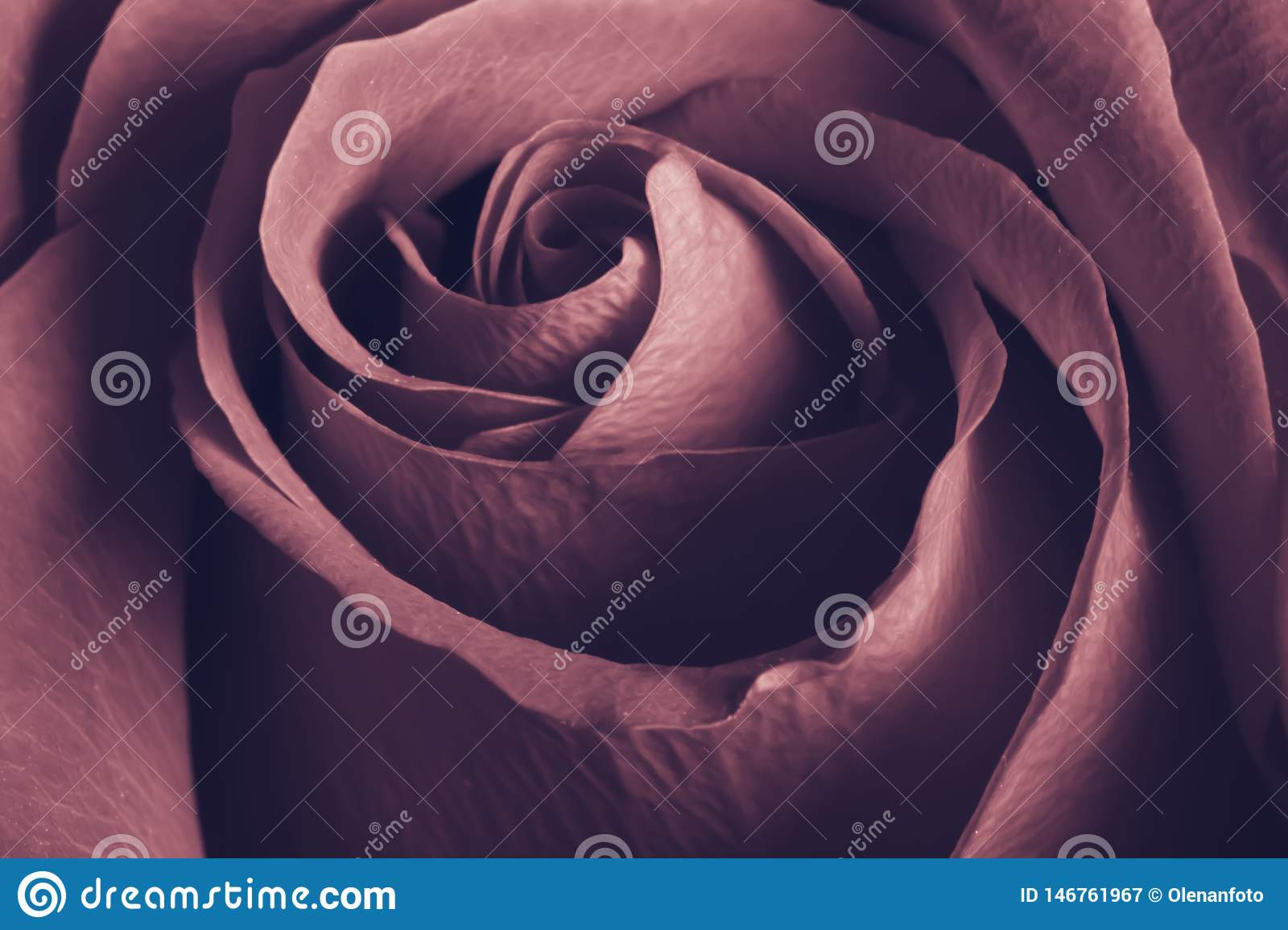 Charming lovely rose, close up, retro