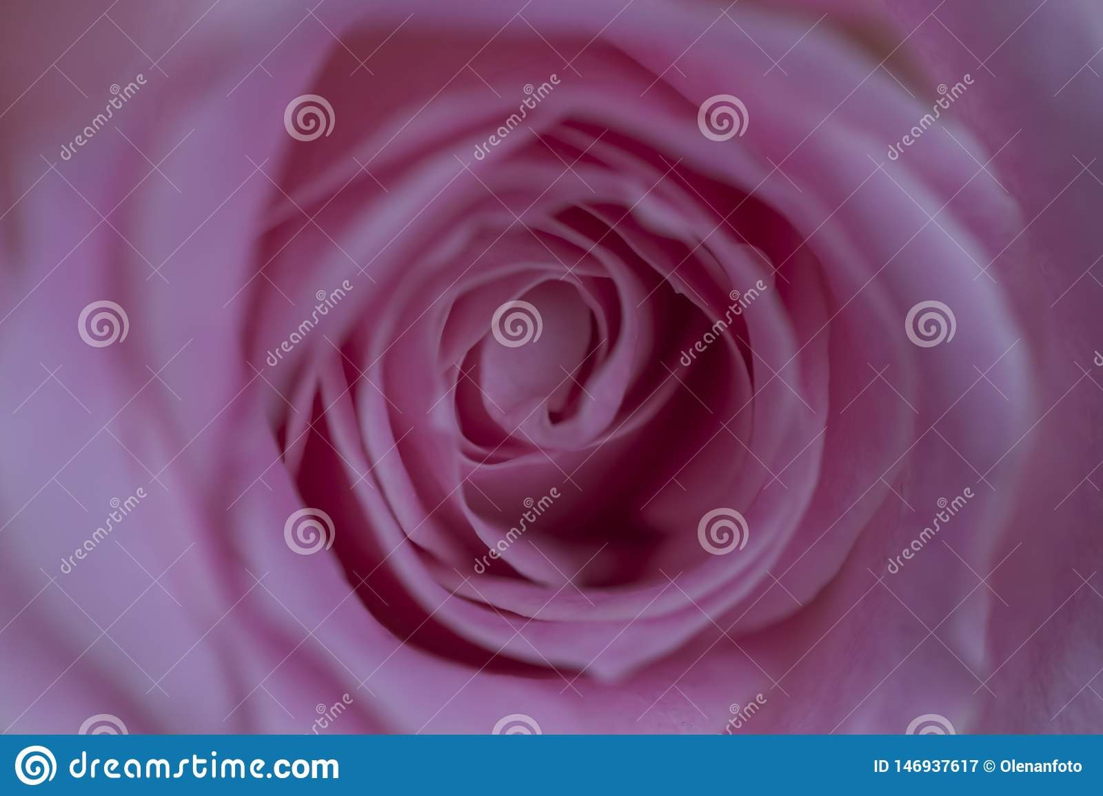 Charming lovely rose, close up