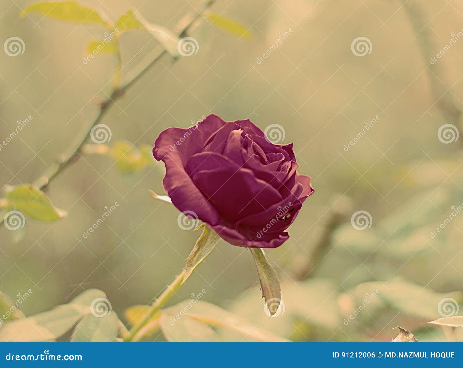 rose of bangladesh