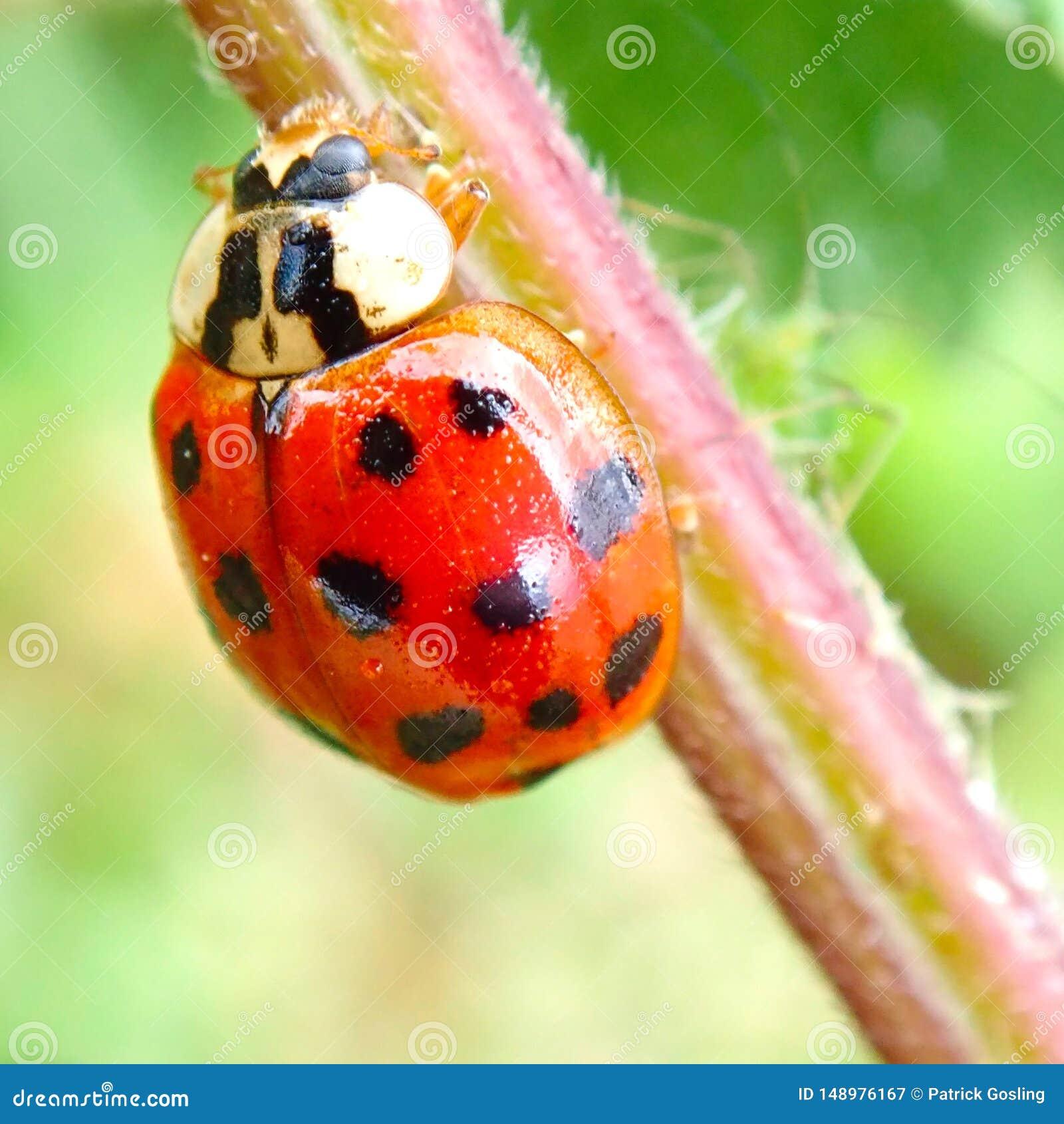 Harmonia Axyridis  or Harlequin Ladybird.