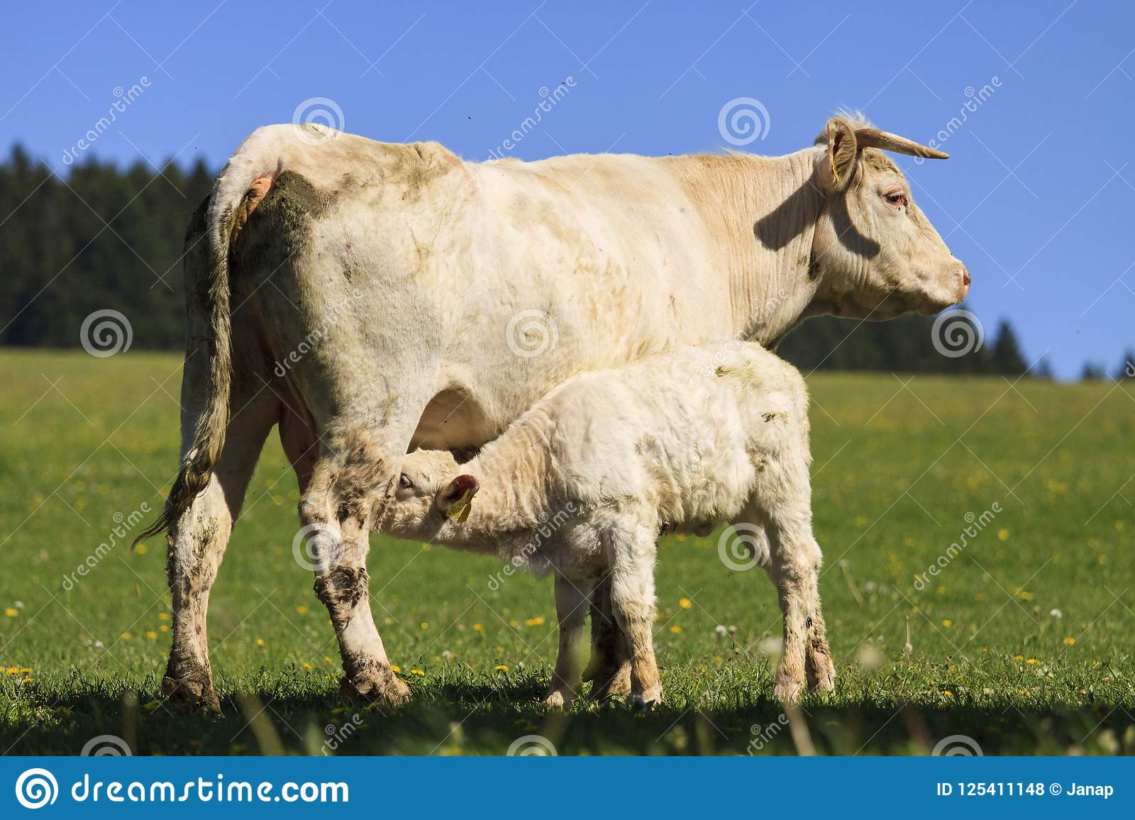 Charolais cow with its calf on the pasture
