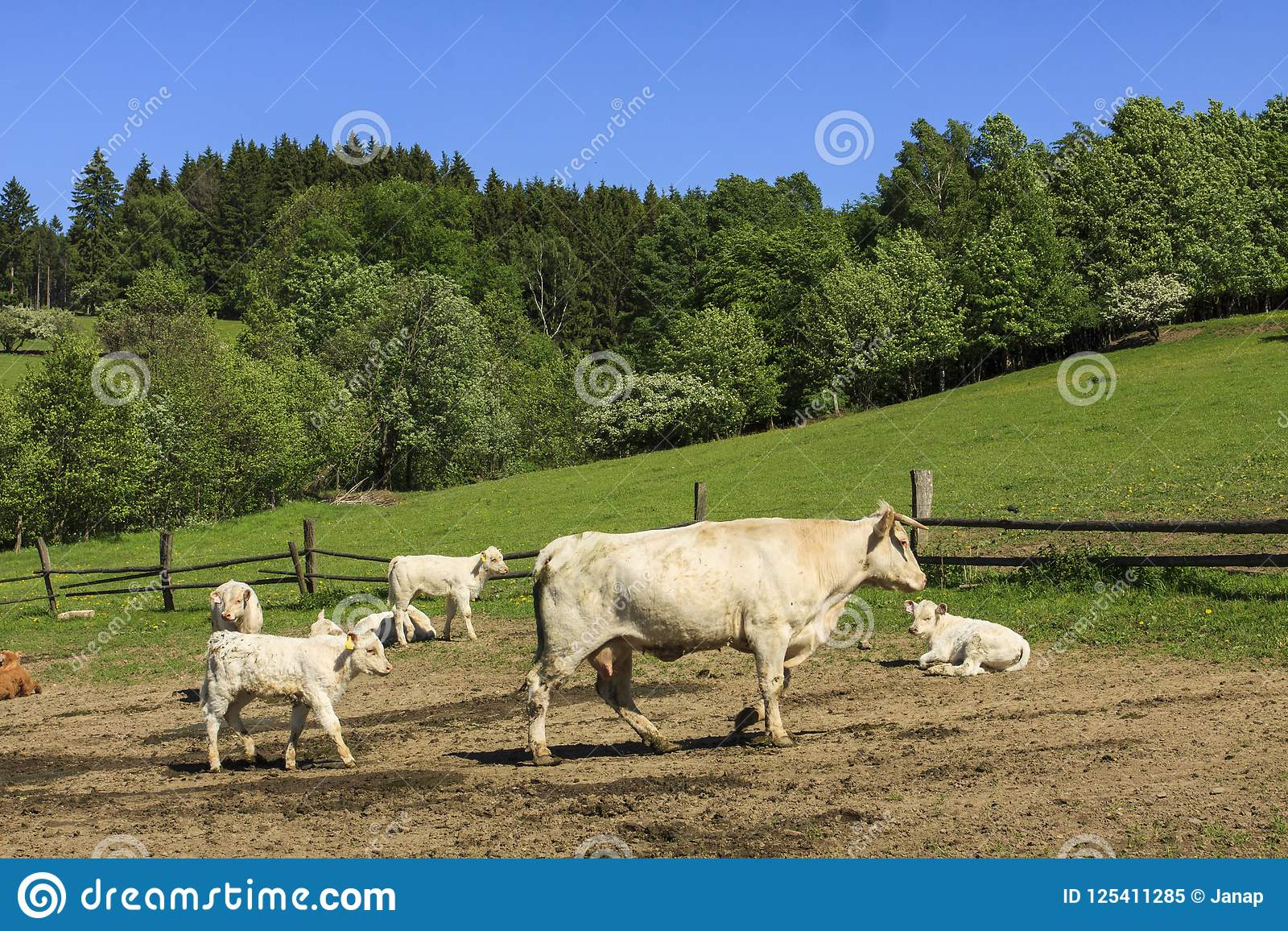 Charolais cow drove on the pasture