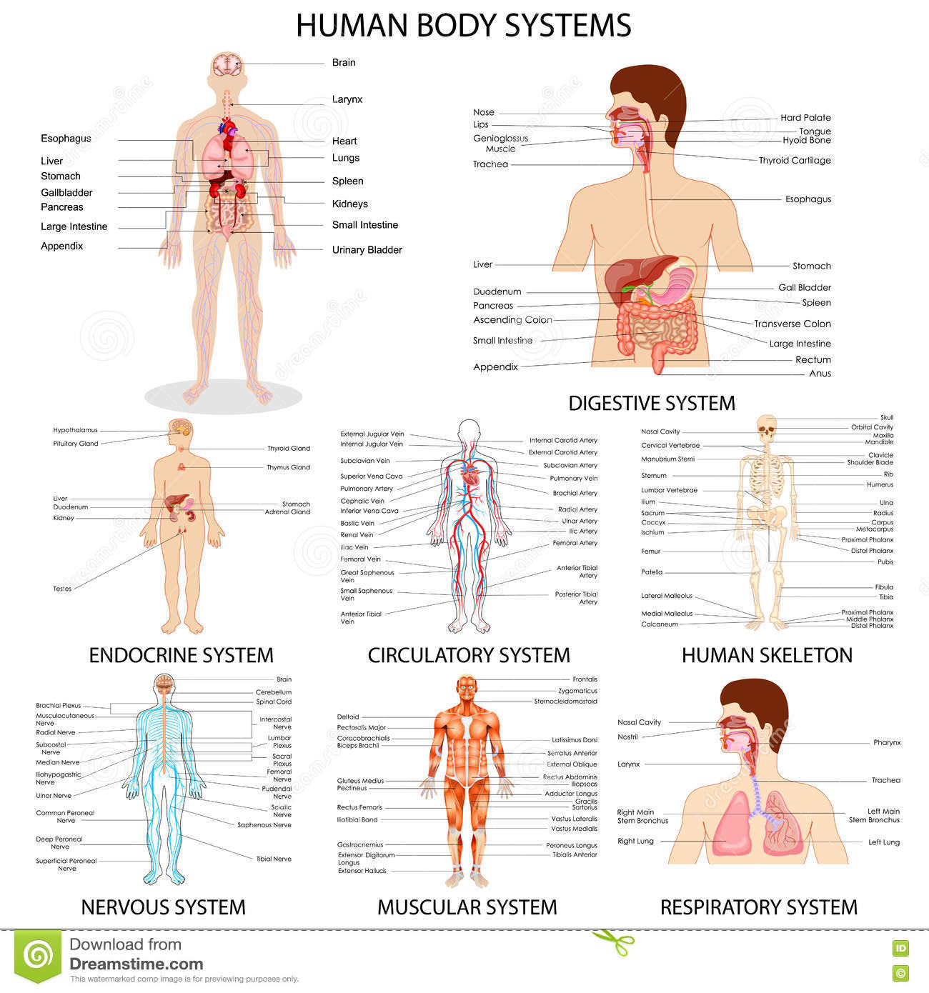 Chart Of Different Human Organ System Stock Vector - Illustration of ...