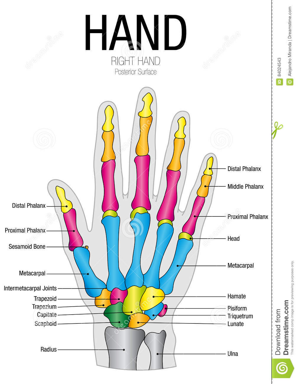 Chart Of HAND Posterior Surface With Parts Name Stock Vector ...