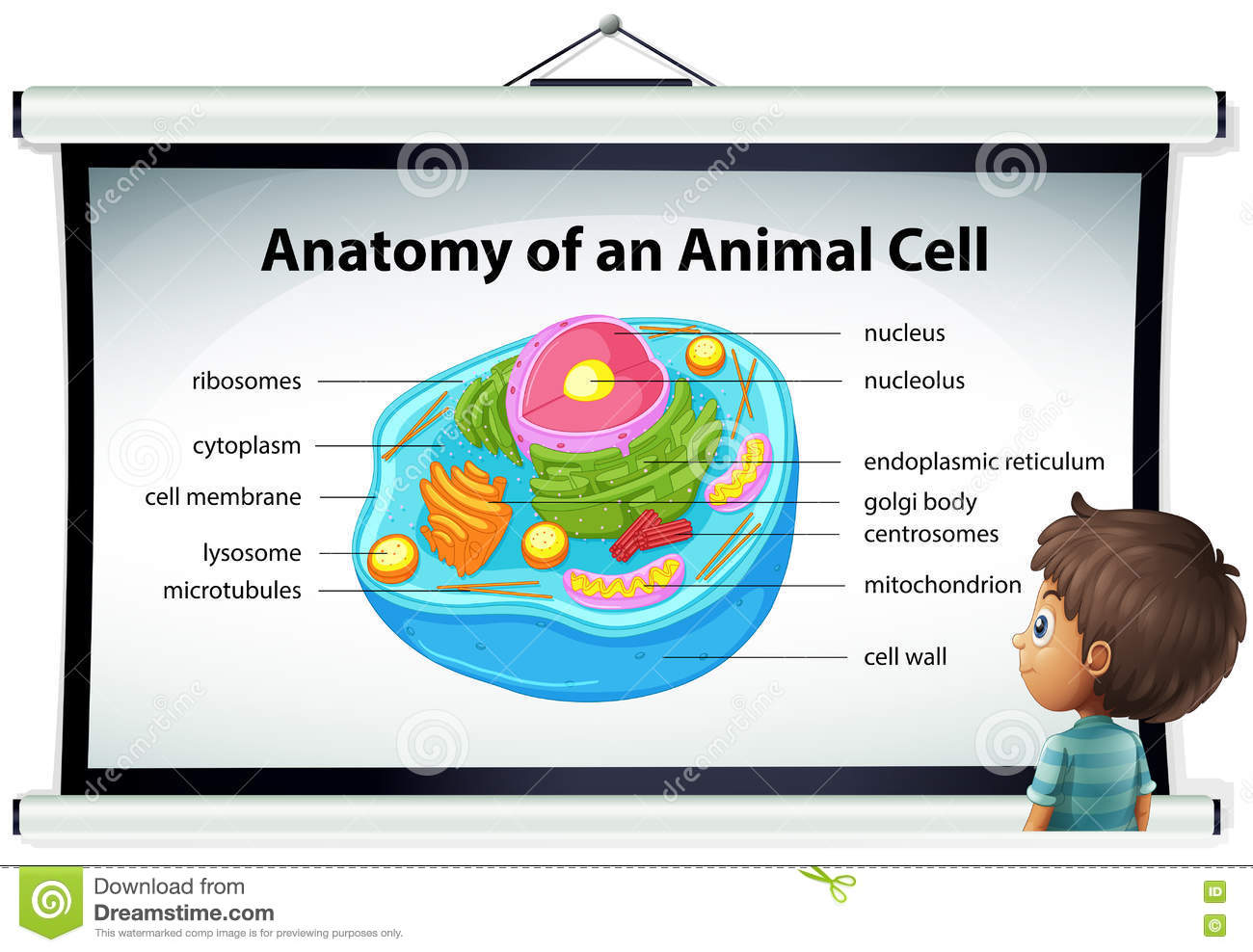 Chart Showing Anatomy Of Animal Cell Stock Vector - Illustration of ...