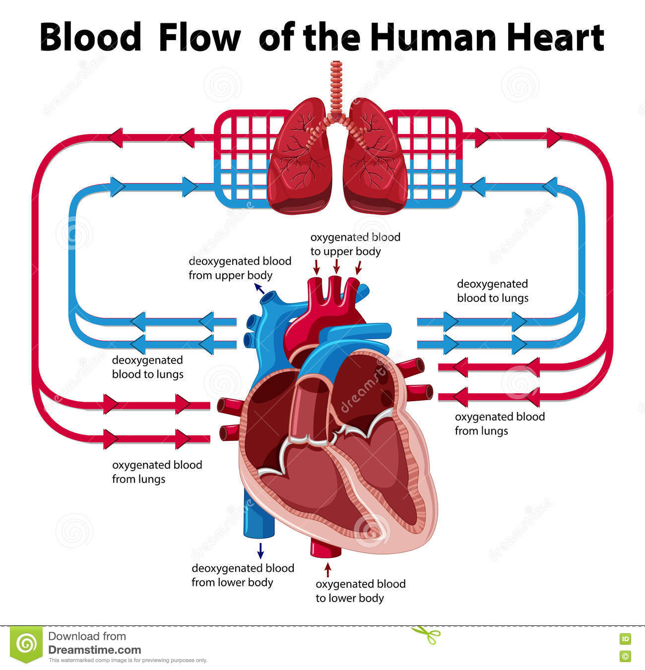 Chart showing blood flow of human heart stock vector chart showing blood flow of human heart pooptronica