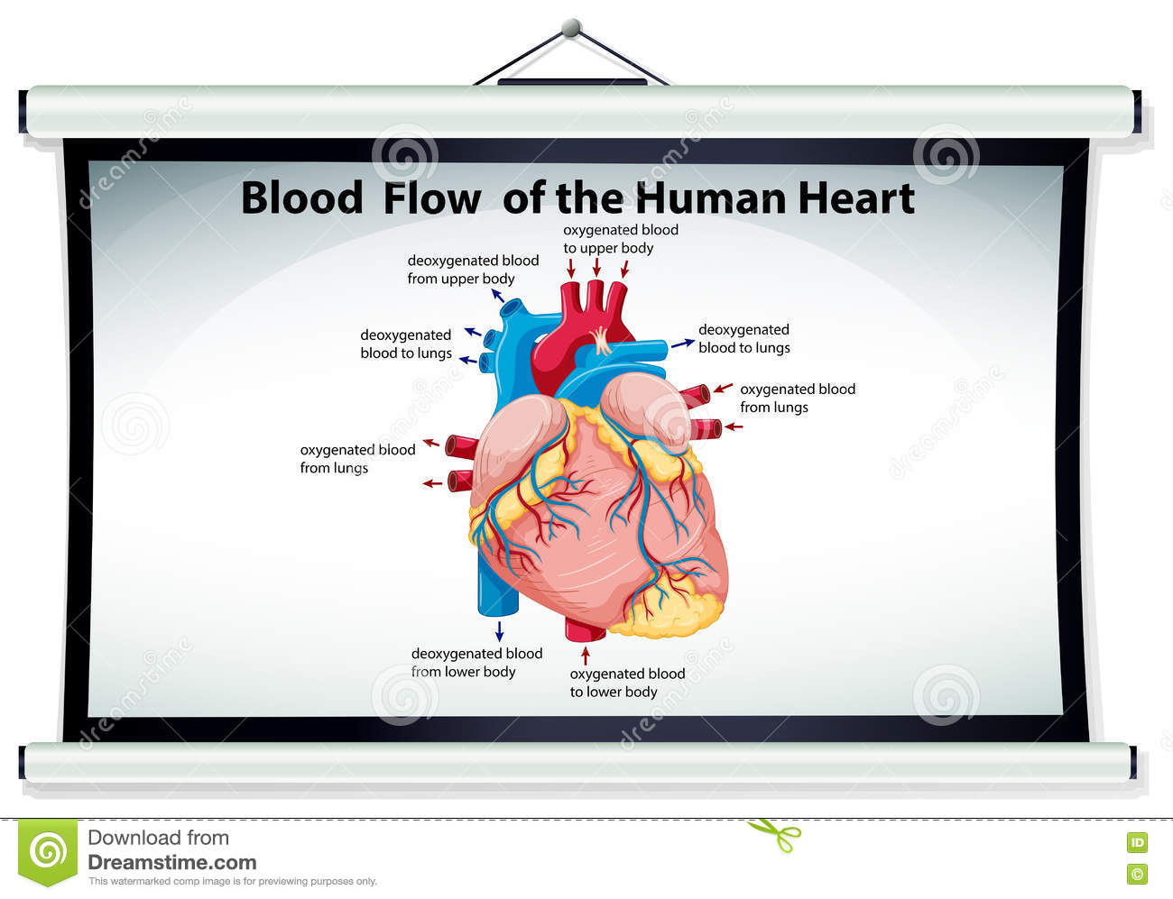 human heart chart images: Chart showing blood flow in human heart stock vector image 74438233