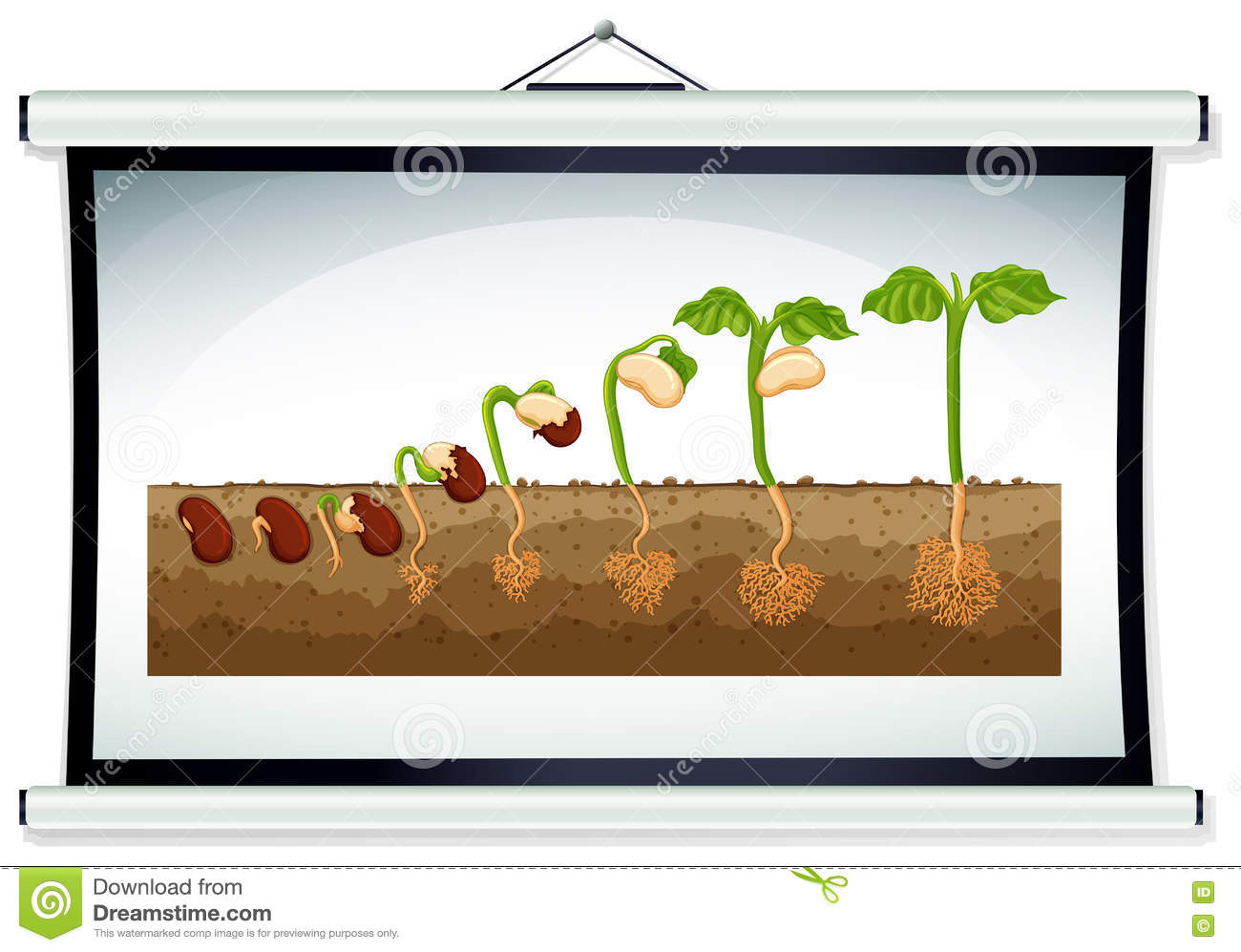 Chart Showing Growing Plant Illustration on Seed Germination Cartoon