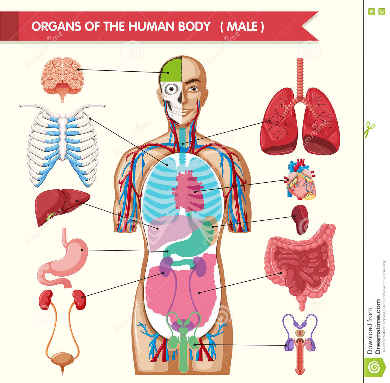 Picture of the human body showing organs