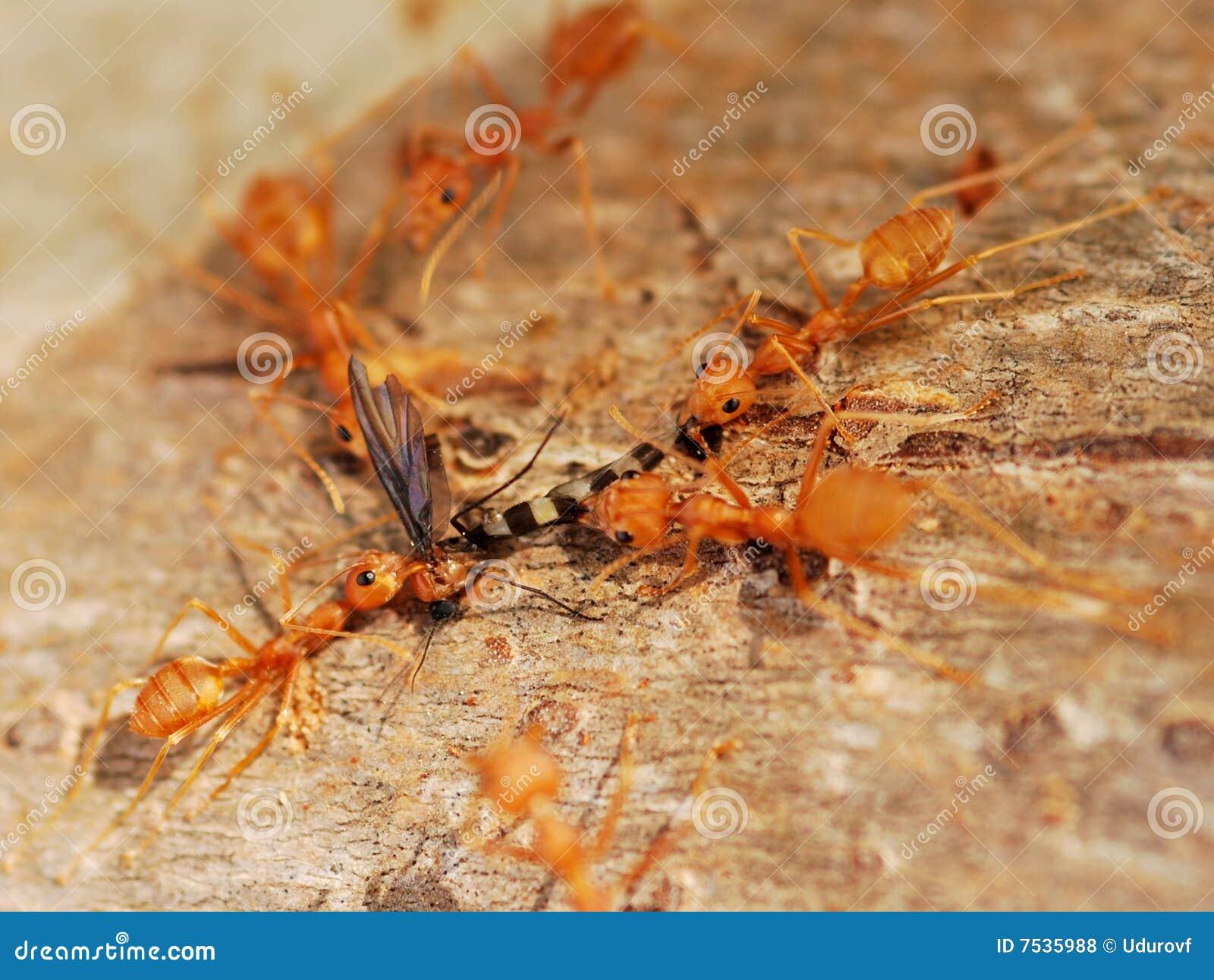 chasse fourmis photos libres de droits image 7535988. Black Bedroom Furniture Sets. Home Design Ideas