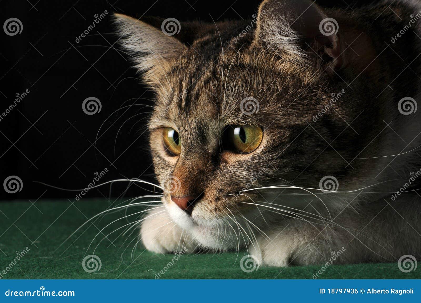 Chasse de chat