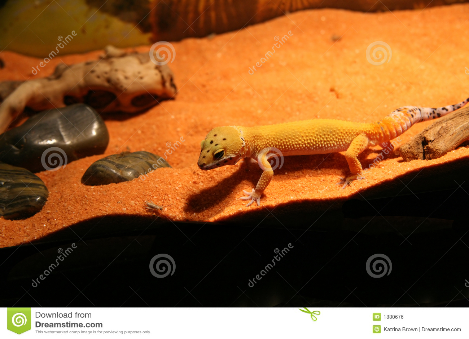 Chasse de Gecko de léopard