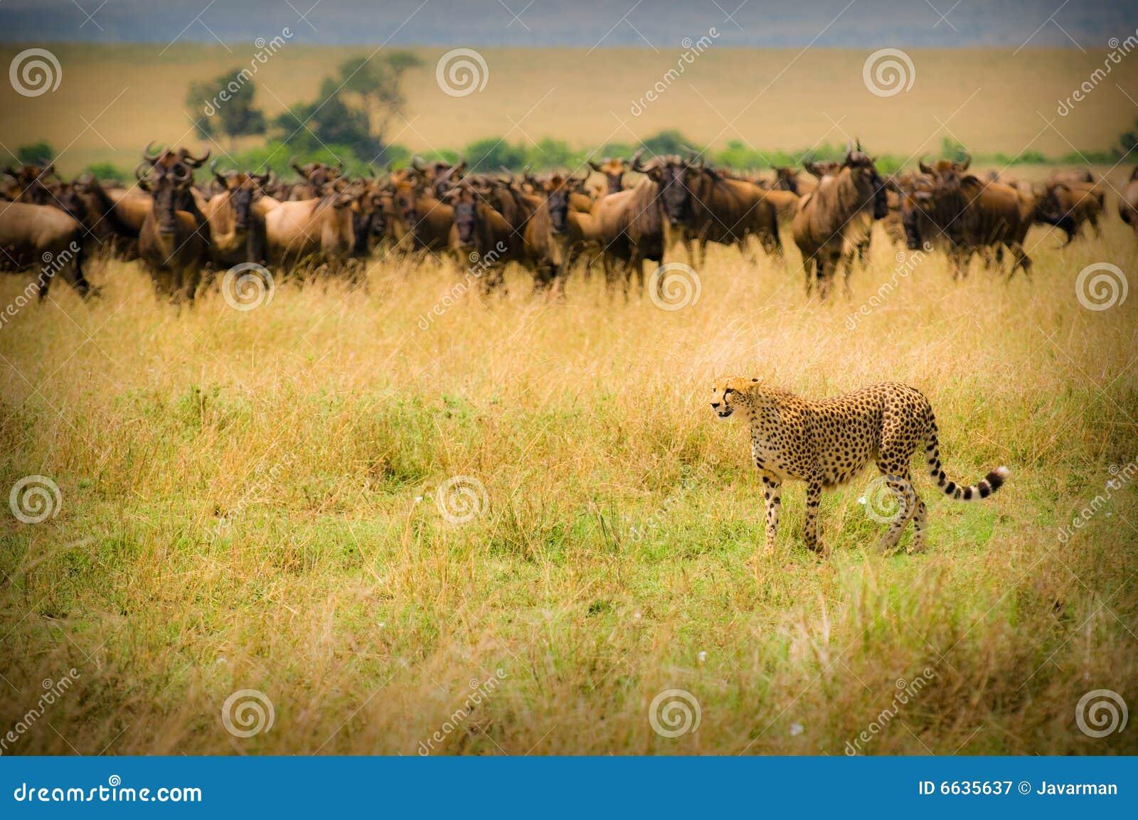 Chasse de guépard