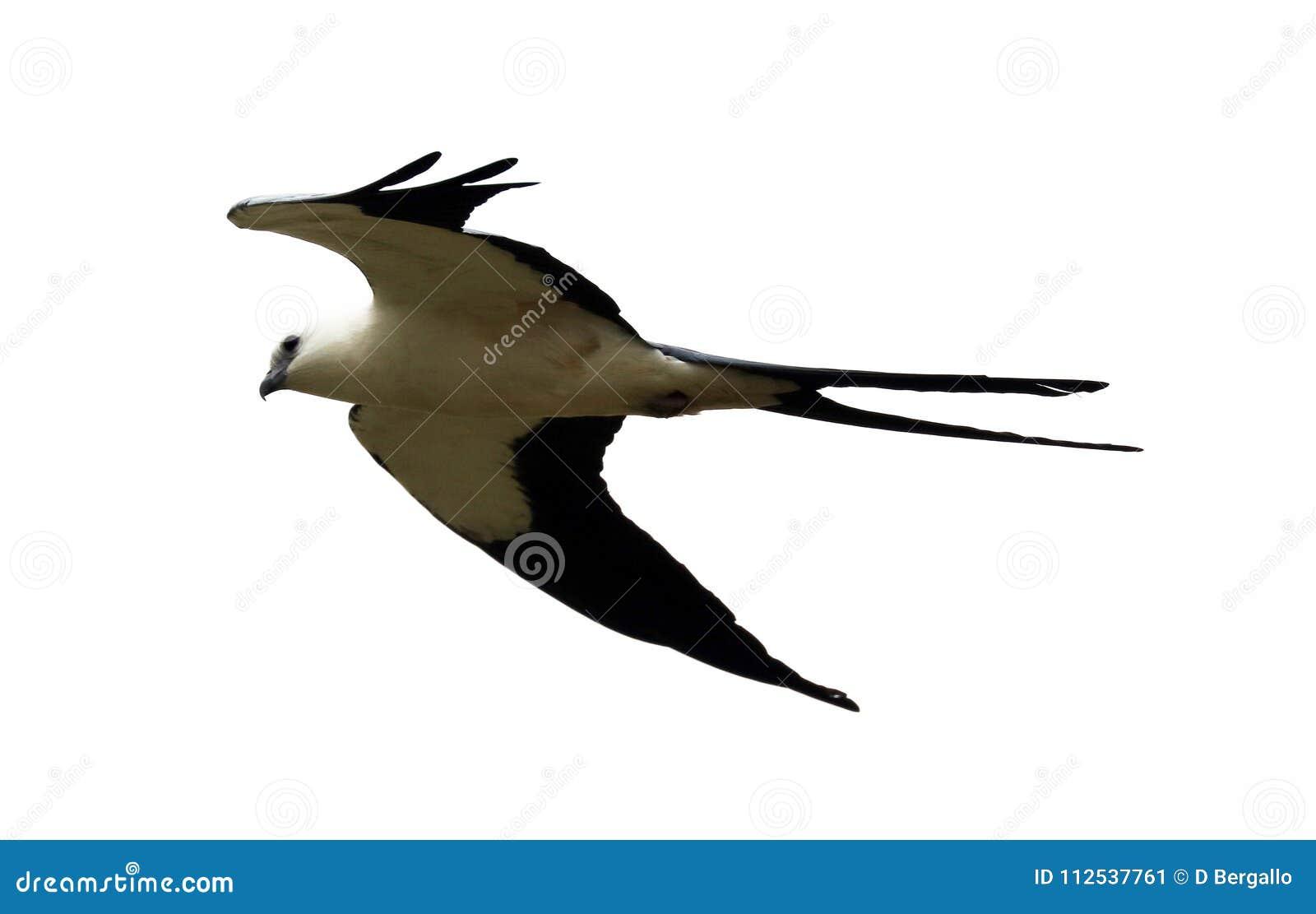Chasse Hirondelle-coupée la queue d oiseau de proie de cerf-volant dans les cieux de Costa Rica