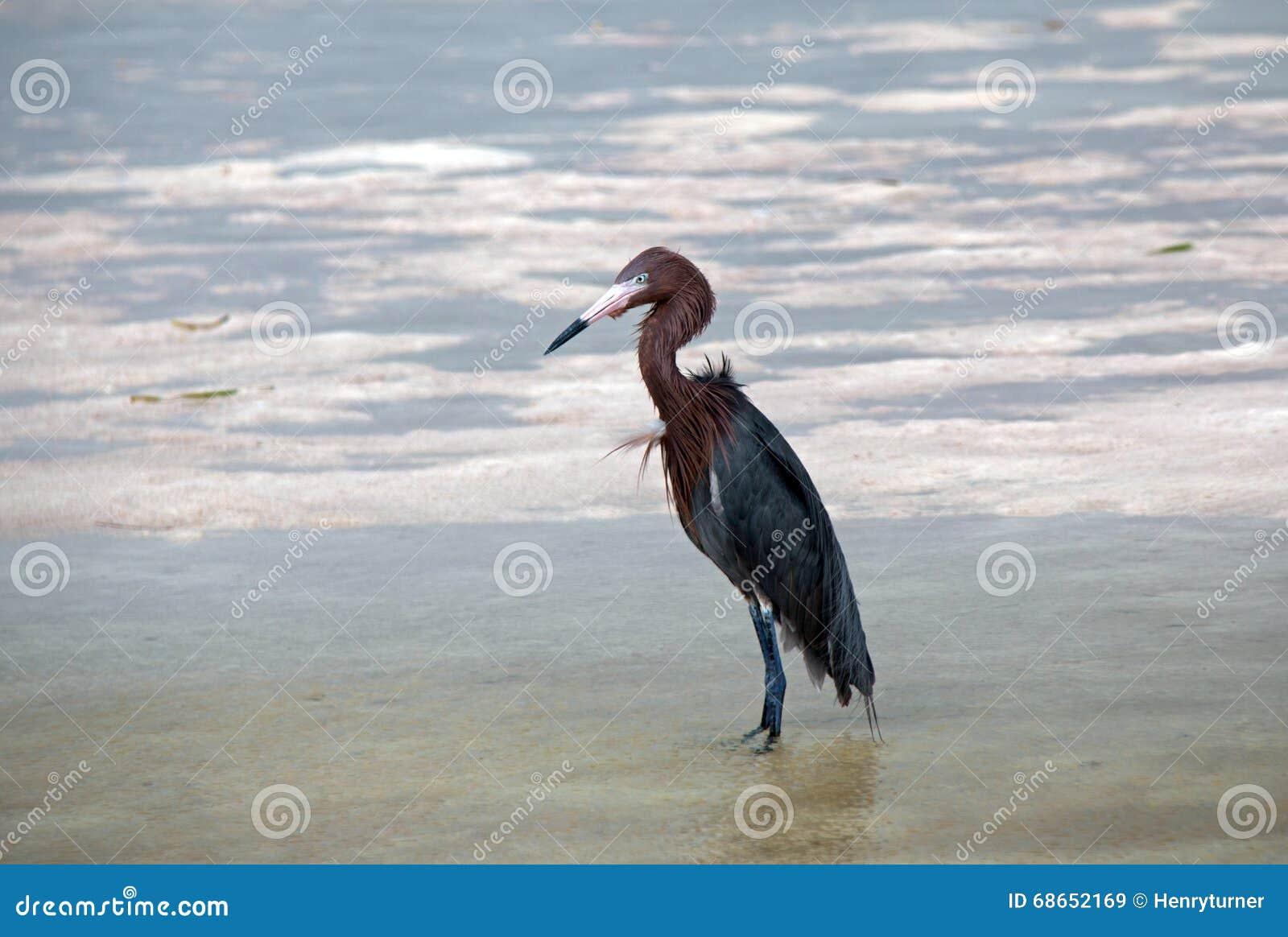 Chasse rougeâtre ébouriffée par le vent de héron dans les eaux de marée d Isla Blanca Cancun Mexico