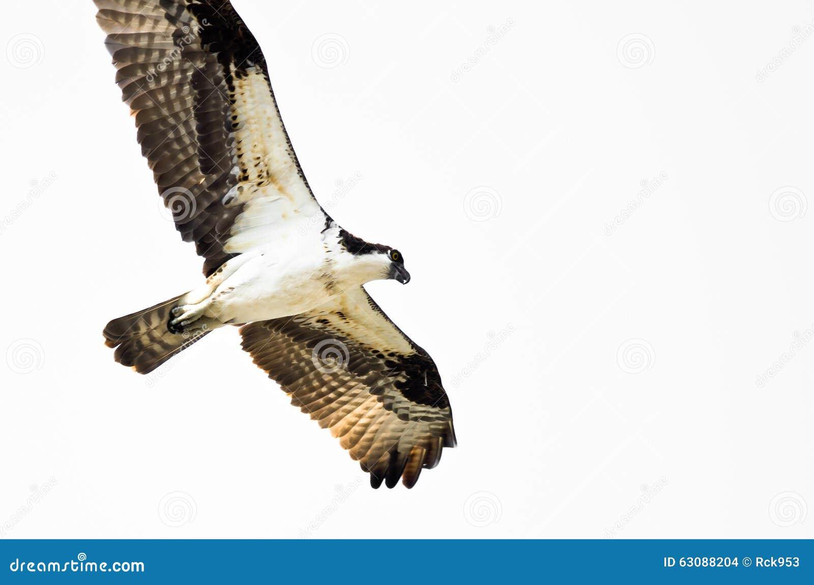 Download Chasse Solitaire De Balbuzard Sur L'aile Sur Un Fond Blanc Photo stock - Image du fond, faucon: 63088204
