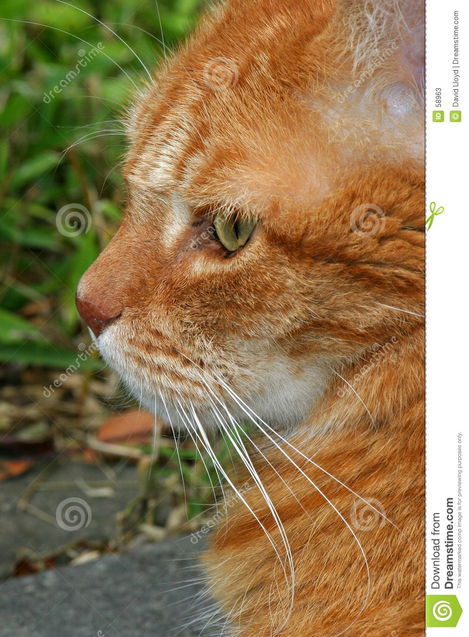 Download Chat image stock. Image du favoris, nature, animal, fourrure - 58963
