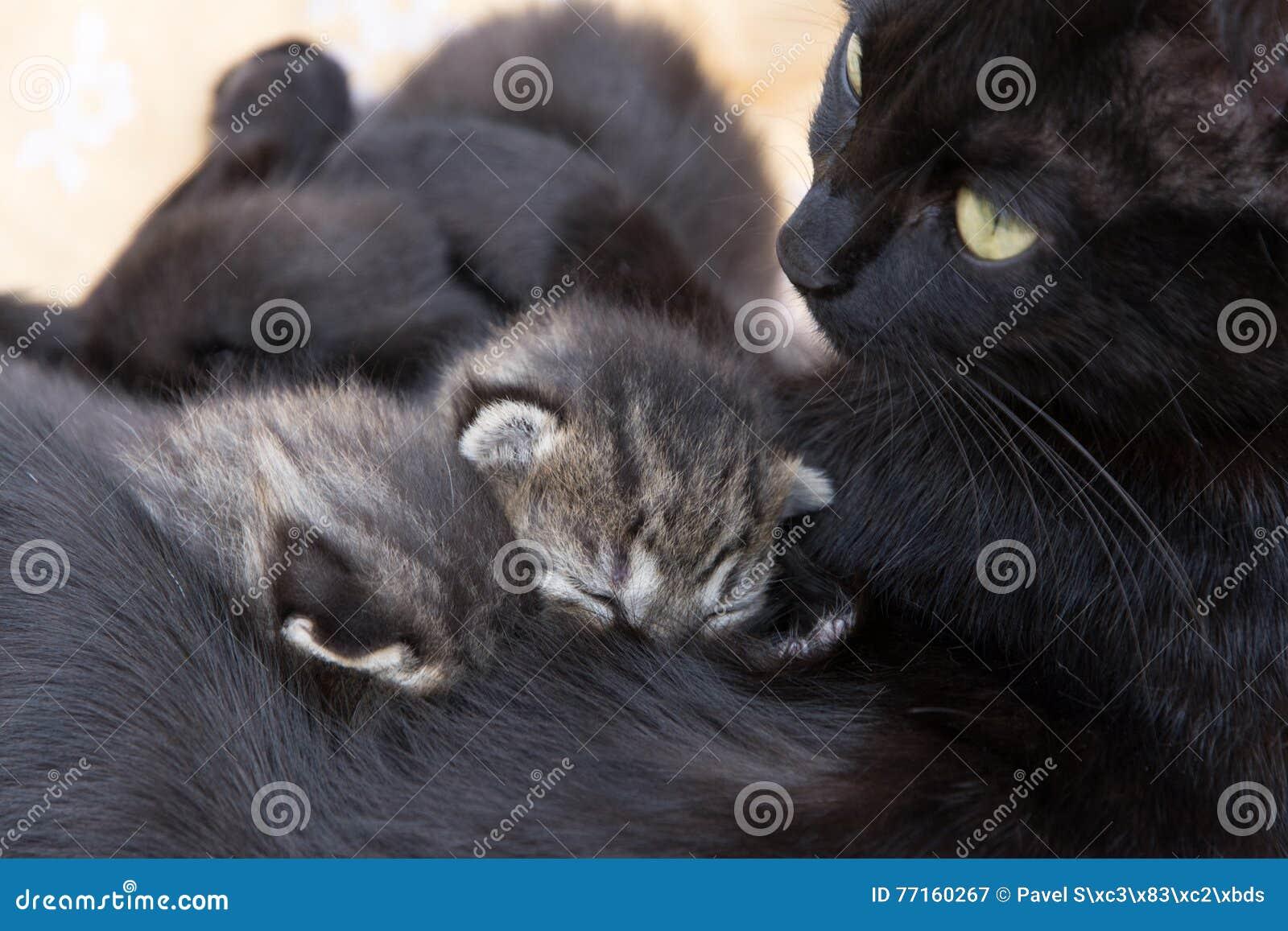 Chat allaitant des chatons