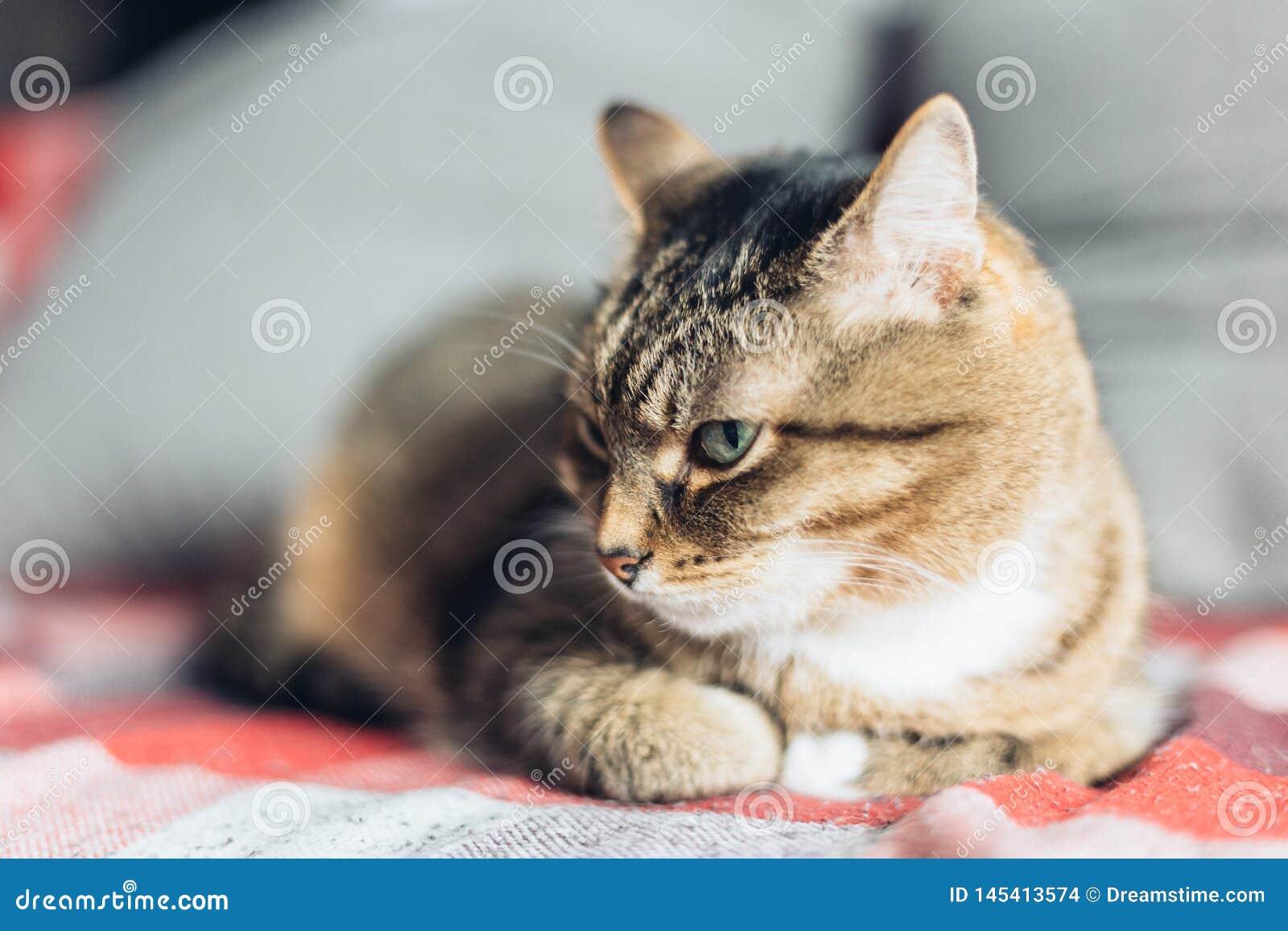 Chat amical tigré de Brown se trouvant sur le divan