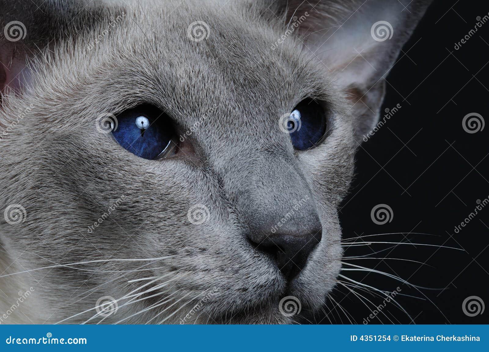Chat avec les yeux bleu fonc images stock image 4351254 - Yeux bleu fonce ...