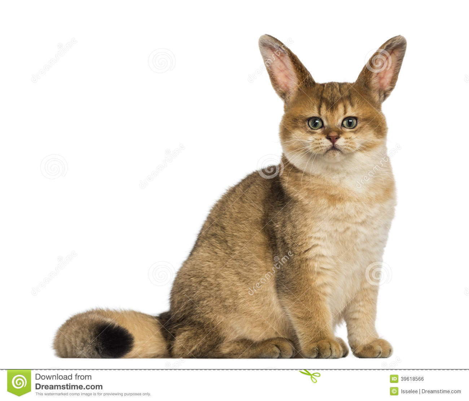 La gale d'oreilles chez le chat - Parasites et maladies