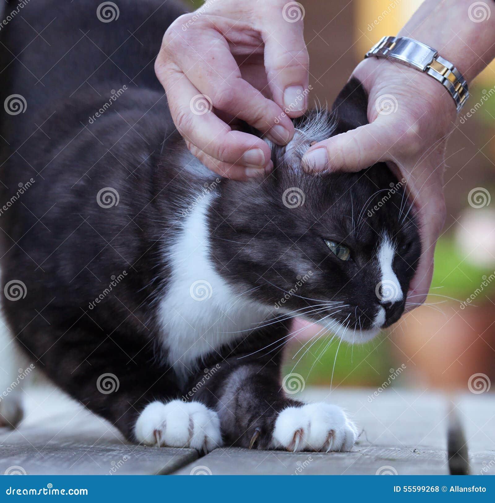 Chat avec un coutil dans la fourrure