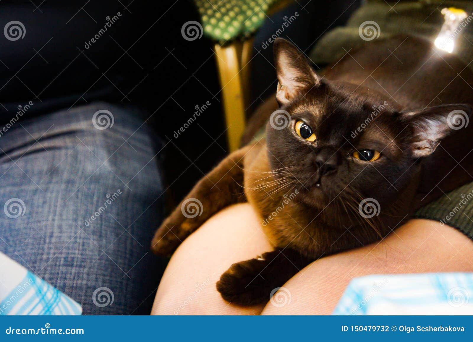 Chat birman de catus de Felis