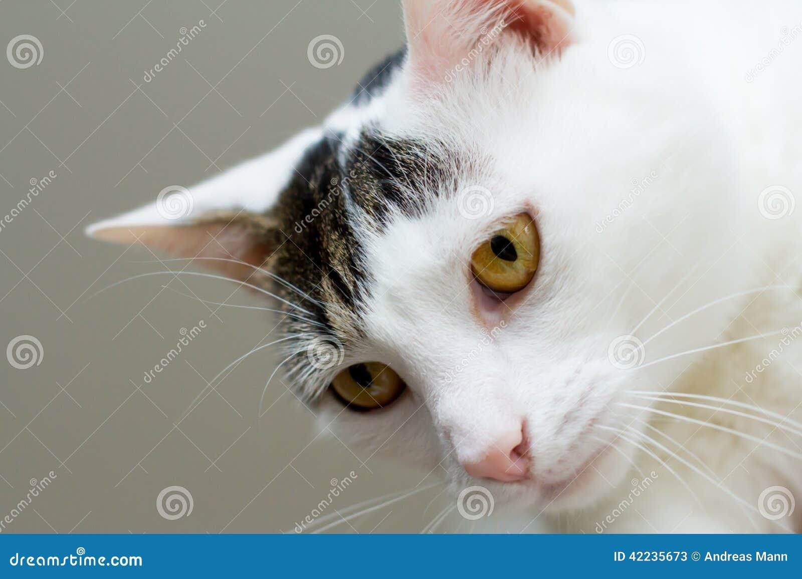chat blanc gris avec les yeux jaunes image stock image 42235673. Black Bedroom Furniture Sets. Home Design Ideas