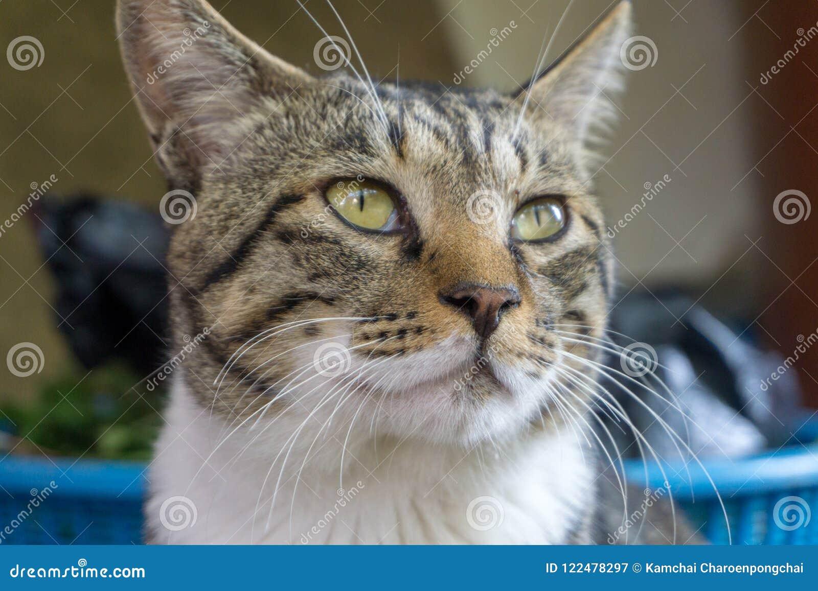 Chat bringé de modèle de Brown avec les yeux inégaux regardant quelque chose fixement