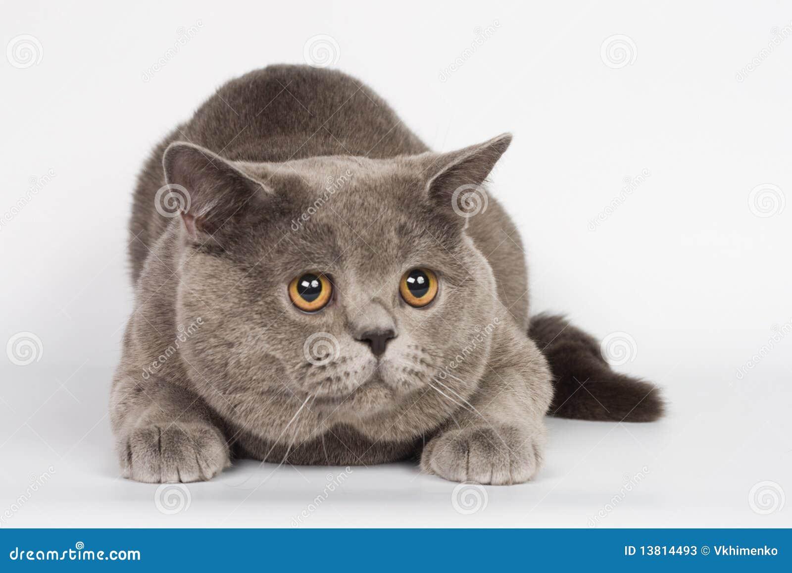 Chat britannique