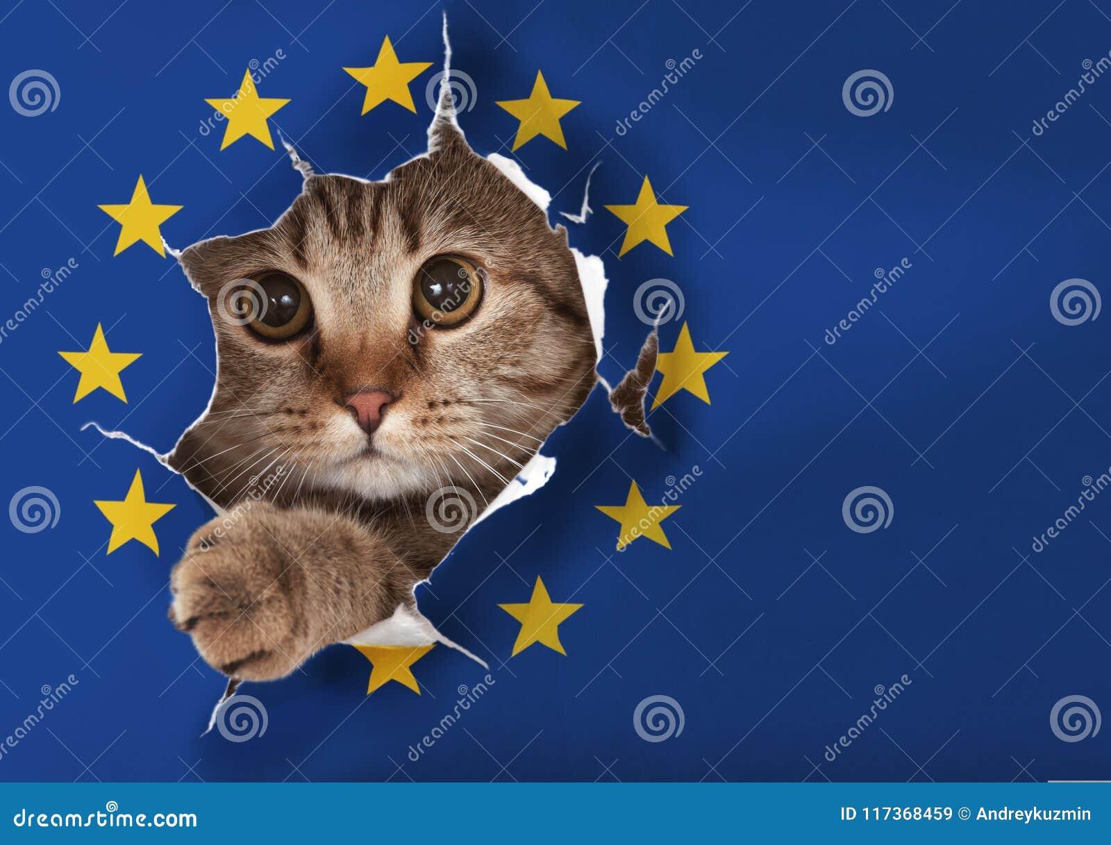 Chat britannique regardant par le trou dans le drapeau de papier d UE