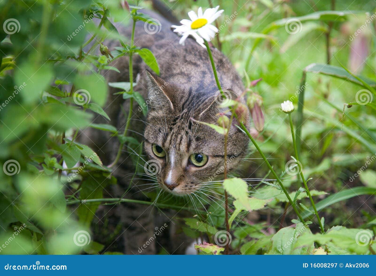 chat chassant dans l 39 herbe image stock image du chat 16008297. Black Bedroom Furniture Sets. Home Design Ideas