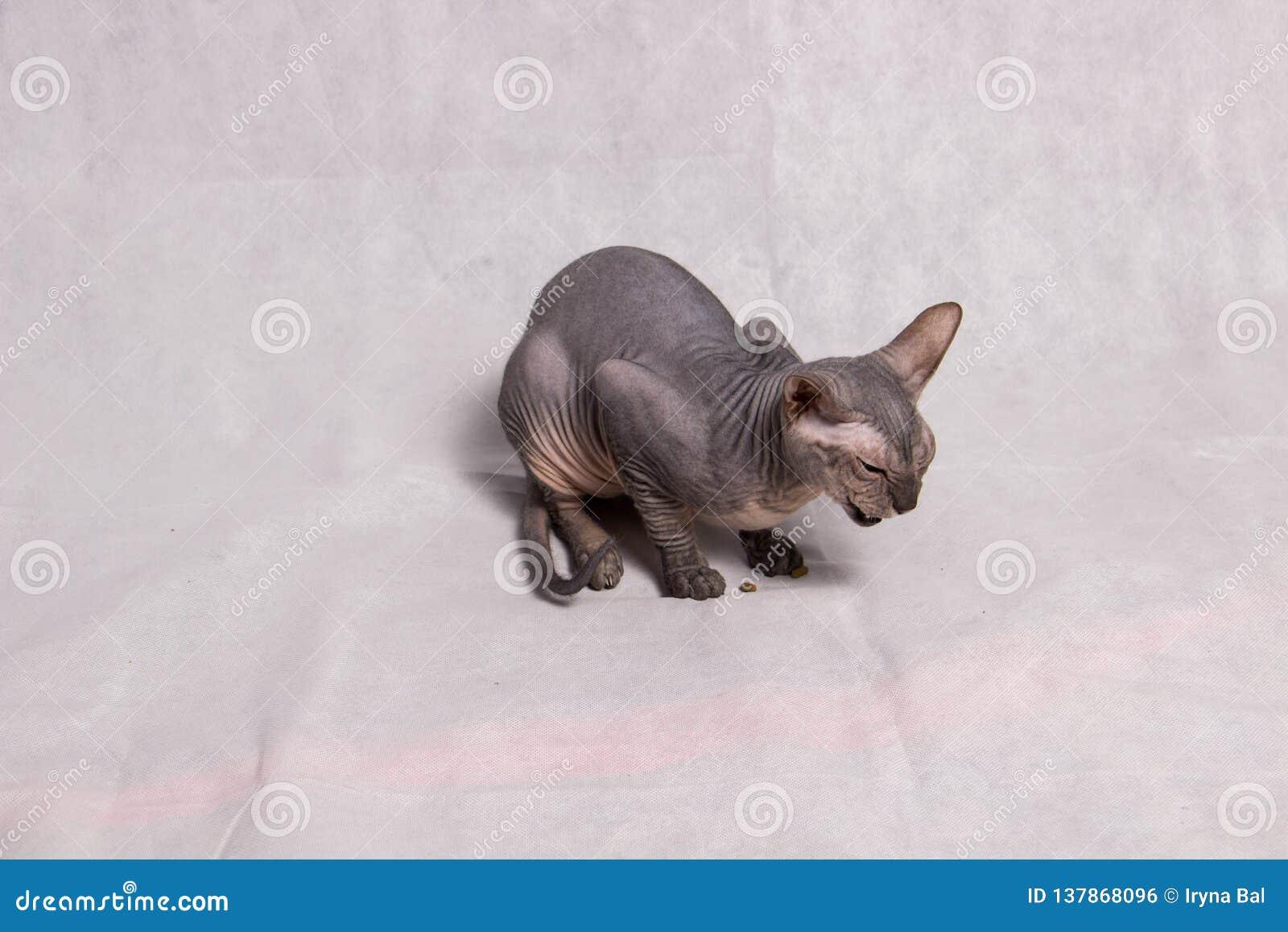 Chat chauve de couleur grise de Sphynx de race sur un fond blanc