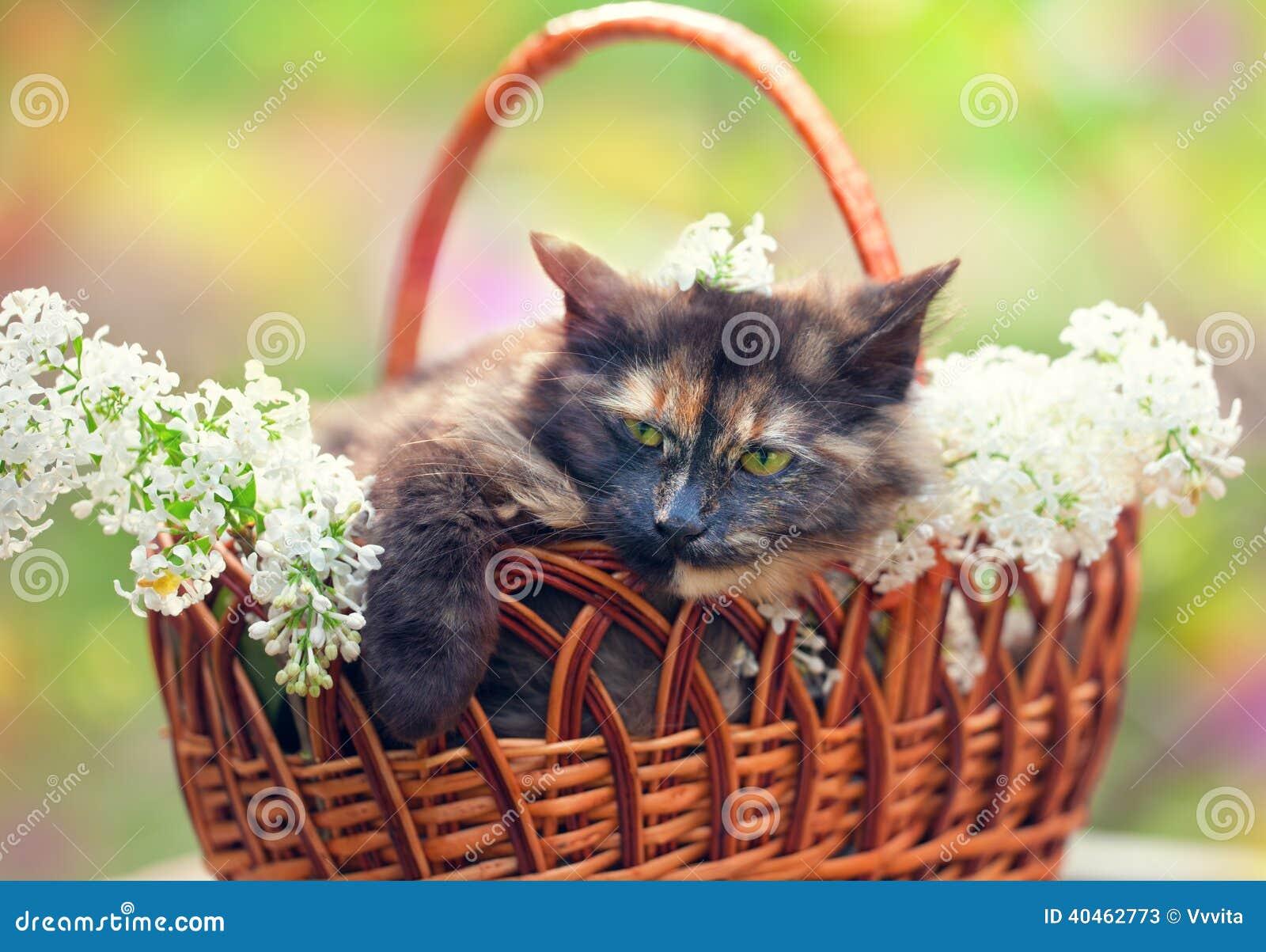 Panier Fleur Pour Chat : Chat dans un panier avec les fleurs lilas photo stock