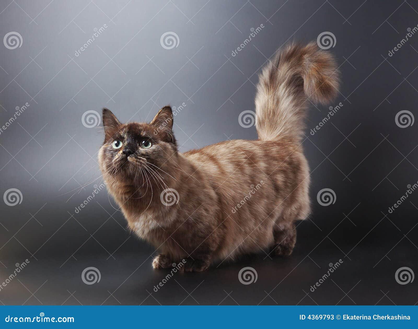 Chat de munchkin image stock image du favori adorable - Prix chat munchkin ...